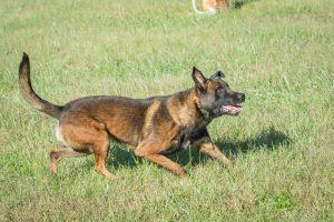 Belgian Malinois dog running in grass