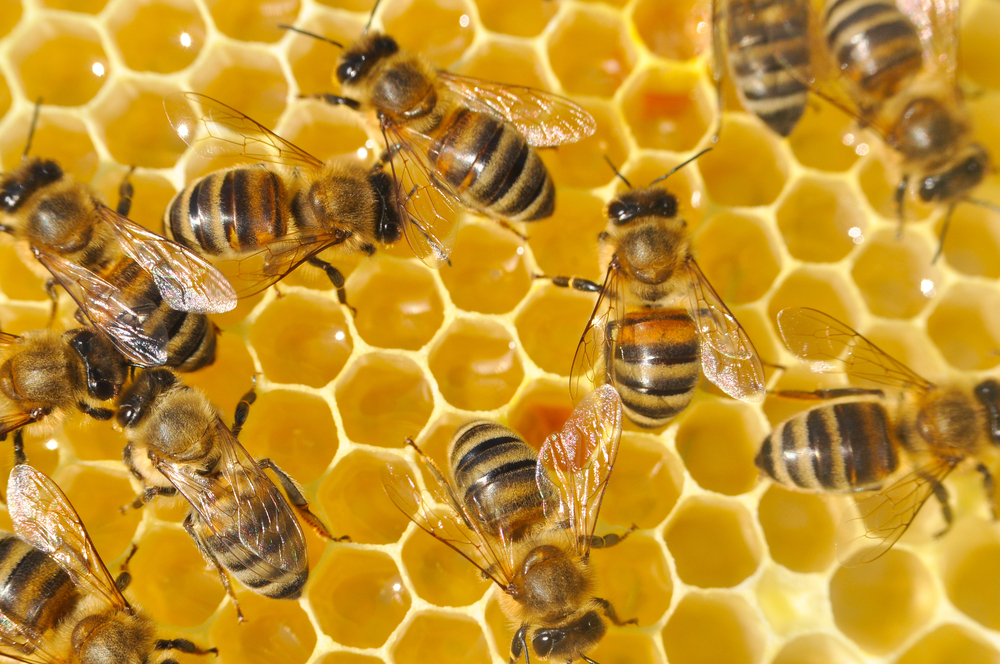 Honey bees in a beehive on honeycomb