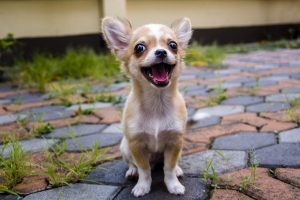 small chihuahua on cobbled pavement